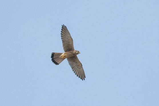 Common Kestrel at Tuas South. Photo Credit: Francis Yap