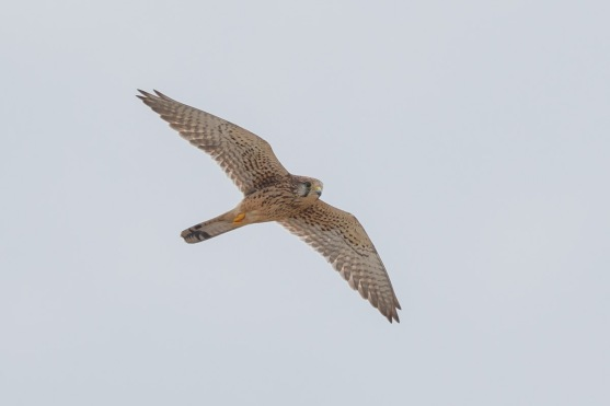 Female Common Kestrel at Tuas South. Photo Credit: Francis Yap