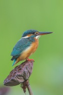Common Kingfisher at SBTB. Photo credit: Francis Yap