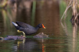 Common Moorhen at Lorong Halus. Photo Credit: Francis Yap