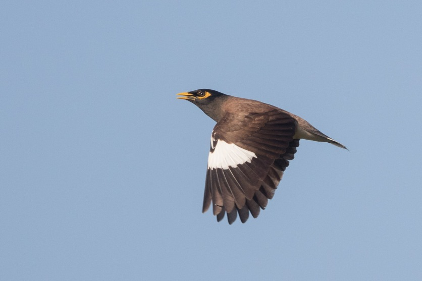 Common Myna at Lorong Halus. Photo Credit: Francis Yap