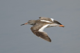 Common Redshank at SBWR. Photo credit: Francis Yap