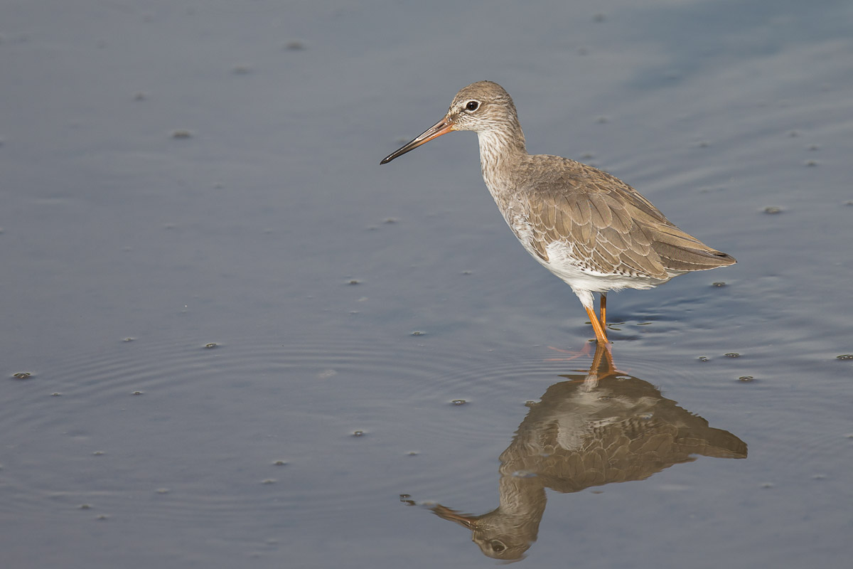 Common redshank singapore birds project for Birds project