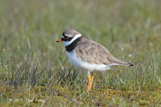 Male Common Ringed Plover in breeding plumage at Sweden. Photo credit: Con Foley