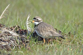 Female Common Ringed Plover in breeding plumage at Sweden. Photo credit: Con Foley