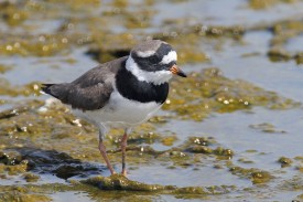 Male Common Ringed Plover in breeding plumage at Dubai. Photo credit: Chong Yih Yeong