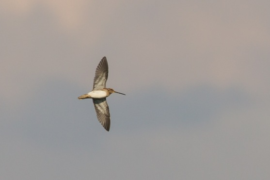 Common Snipe at Jurong West. Photo Credit: Francis Yap