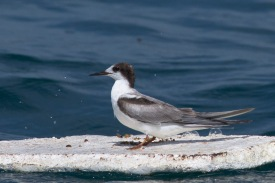 Non-breeding Common Tern at Singapore Strait. Photo Credit: Francis Yap