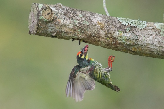 Coppersmith Barbet at Pasir Ris Park. Photo Credit: Francis Yap