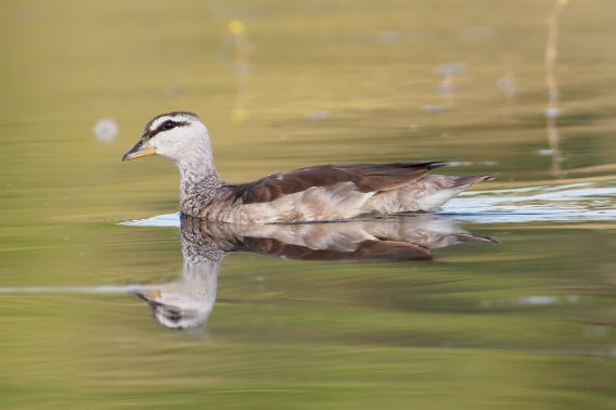 Female Cotton Pygmy Goose at Bidor, Malaysia. Photo Credit: Chong Boon Leong.
