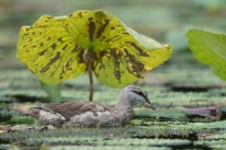 Subadult female Cotton Pygmy Goose at Satay by the Bay. Photo credit: Francis Yap