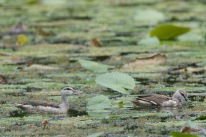 A pair of subadult Cotton Pygmy Goose at Satay by the Bay. Photo credits: Francis Yap
