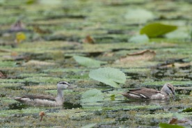 A pair of subadult Cotton Pygmy Goose at Satay by the Bay. Photo credits: Francis Yap