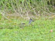 Cotton Pygmy Goose at Kranji Marsh. Photo Credit: Raghav