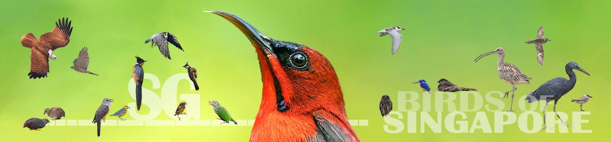 Singapore Birds Project