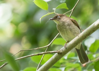 Cream-vented Bulbul at Jelutong Tower. Photo Credit: See Toh Yew Wai