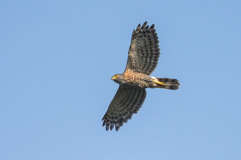 Crested Goshawk at Kent Ridge Park. Photo Credit: Francis Yap