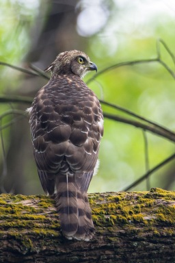 Juvenile Crested Goshawk at Bidadari. Photo Credit: Francis Yap