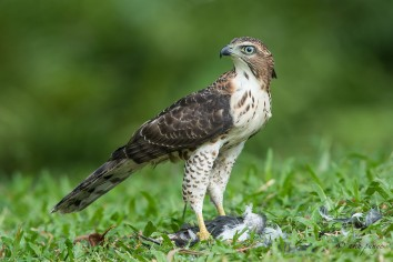 Crested Goshawk. Photo Credit: Zahidi Hamid
