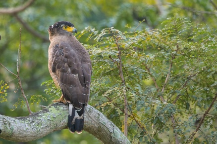 Crested Serpent Eagle at Japanese Garden. Photo Credit: Francis Yap