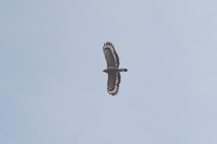 Crested Serpent Eagle at South Buona Vista. Photo credit: Francis Yap