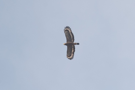 Crested Serpent Eagle at South Buona Vista. Photo credit: Francis Yap