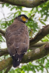 Crested Serpent Eagle at Malcolm Park. Photo Credit: Francis Yap