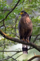 Crested Serpent Eagle at Japanese Garden. Photo Credit: Alan Ng