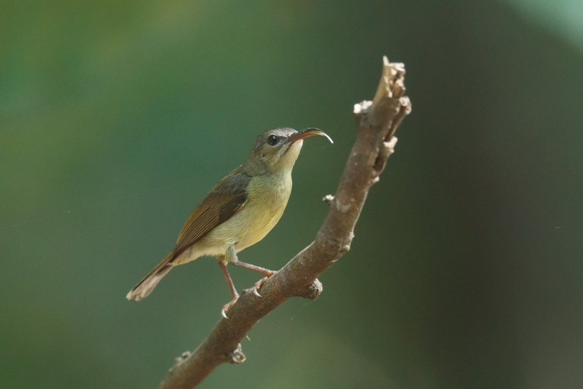 Female Crimson Sunbird at Upper Peirce Reservoir