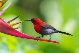 Male Crimson Sunbird at Dairy Farm. Photo Credit: Francis Yap
