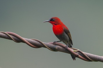 Male Crimson Sunbird at Jelutong Tower. Photo Credit: Francis Yap