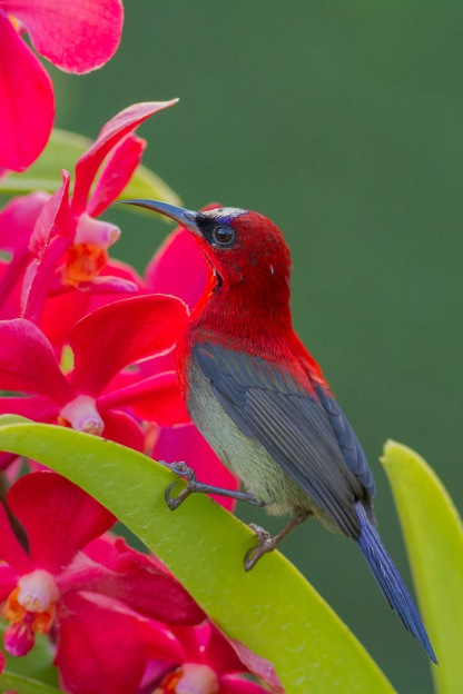 Male Crimson Sunbird at Mandai Orchid Garden. Photo Credit: Francis Yap