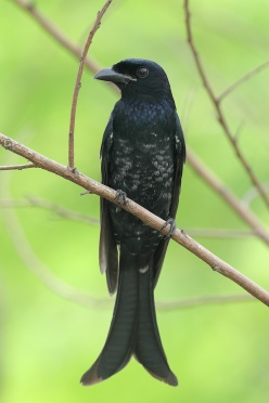 Crow-billed Drongo at Tuas South. Photo credit: Francis Yap