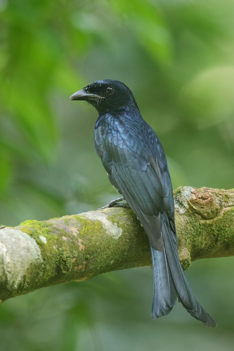 Crow-billed Drongo at Windsor Nature Park. Photo credit: Francis Yap