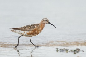 Curlew Sandpiper at Seletar Dam. Photo Credit: Francis Yap