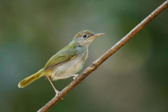 Juvenile Dark-necked Tailorbird at Rifle Range. Photo Credit: Francis Yap