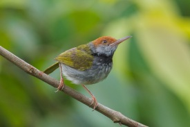 Dark-necked Tailorbird at Jelutong Tower. Photo Credit: Francis Yap