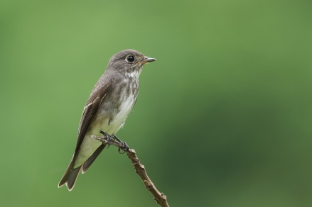Dark-sided Flycatcher at Bidadari. Photo credit: Francis Yap