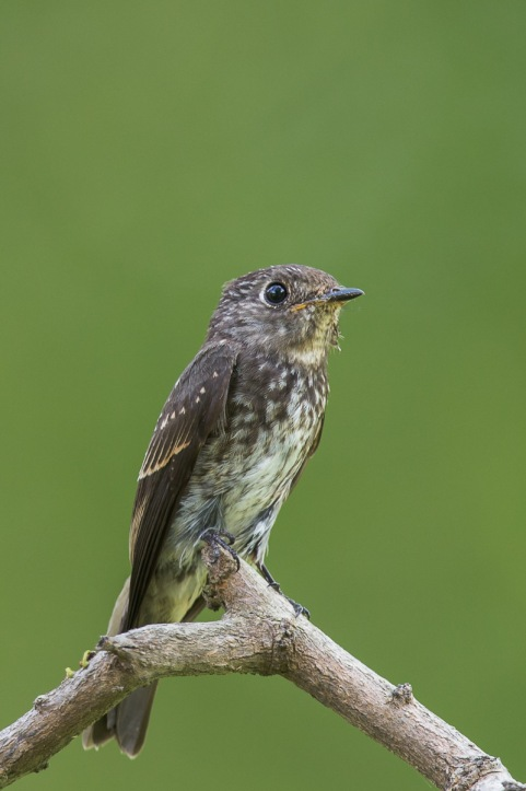 Juvenile Dark-sided Flycatcher at Bidadari. Photo Credit: Francis Yap