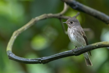 Dark-sided Flycatcher (ssp. sibirica) at Hindhede Park. Photo Credit: Francis Yap