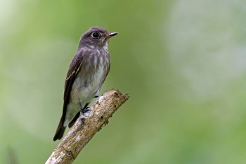 Dark-sided Flycatcher (ssp. rothschildi) at Bidadari. Photo Credit: Alan Ng