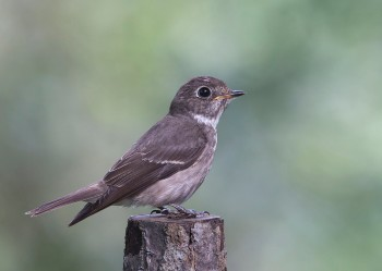 Dark-sided Flycatcher (ssp. sibirica) at Singapore Botanic Gardens. Photo Credit: See Toh Yew Wai