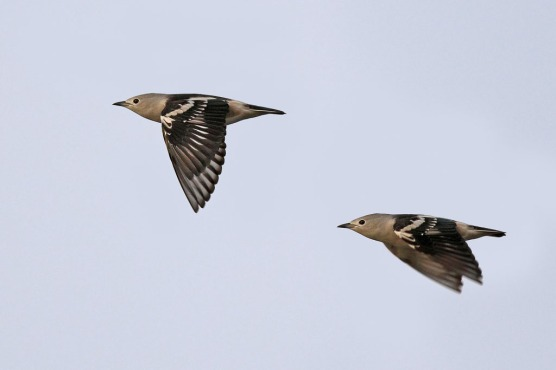 Daurian Starling. Photo credit: Henry Koh