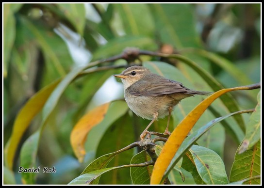 Dusky Warbler from Chang Rai, Thailand. Photo Credit: Daniel Koh aka Hiker
