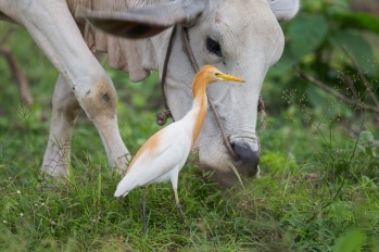 Eastern Cattle Egret at Kaeng Krachan National Park, Thailand. Shown here accompanying a cow. As the cow move, the egret catches insects or other prey disturbed by the movement. Photo Credit: Francis Yap