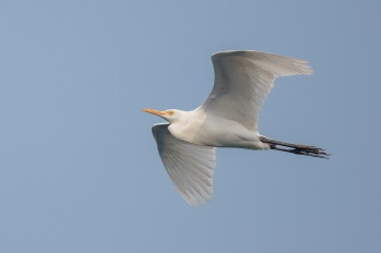 Eastern Cattle Egret at Singapore Strait. Photo Credit: Francis Yap