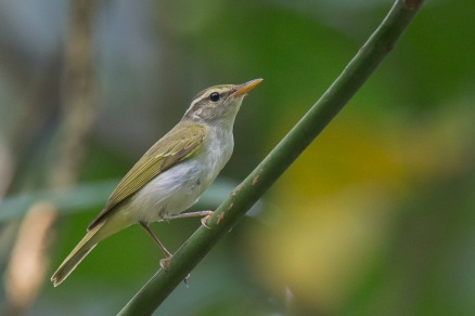 Eastern Crowned Warbler at Venus Drive. Photo Credit: Francis Yap