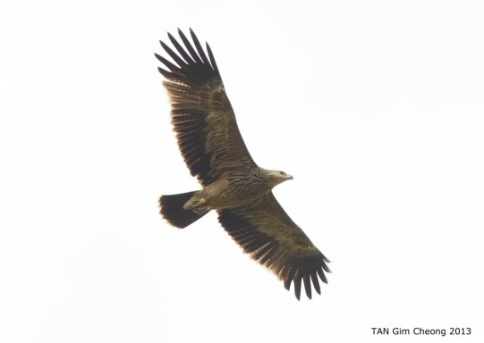 Juvenile Eastern Imperial Eagle at Batang Tiga, Malaysia. Photo Credit: Tan Gim Cheong