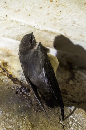 Edible-nest Swiftlet at Sentosa. Photo credit: Francis Yap