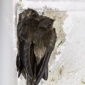 Edible-nest Swiftlet in the city. Photo credit: Francis Yap